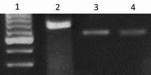 Nested  U2013pcr Amplification Of Kdna Extracted From Skin  Bone Marrow