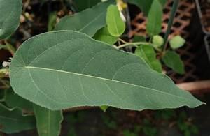 Eucalyptus Plante D Intérieur : eucalyptus citriodora plantes etc ~ Melissatoandfro.com Idées de Décoration