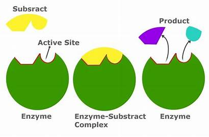 Substrate Enzyme Definition Inhibition Feedback Allosteric Enzymes