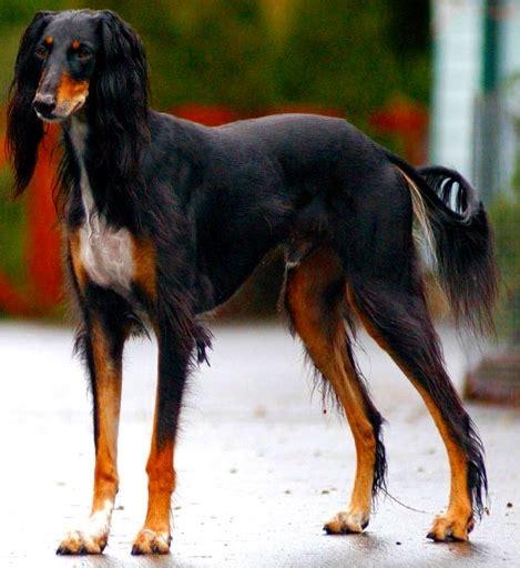 Filesaluki  Ee  Dog Ee    Ee  Breed Ee   Jpg Wikimedia Commons