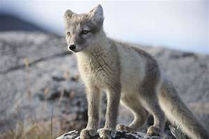 Arctic Fox Astounds Scientists By Trekking 2 176 Miles In