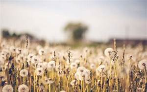 Dandelion Field Pictures, Photos, and Images for Facebook ...