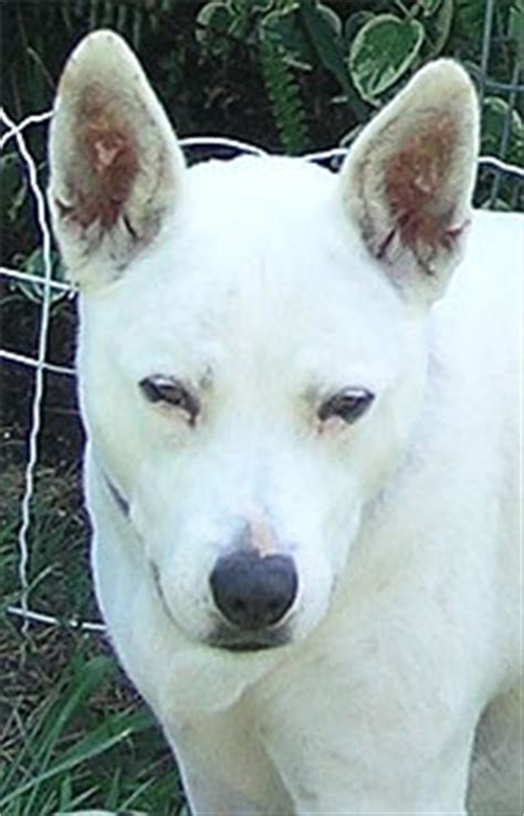 bull terrier queensland heeler mixed breed dog  dog encyclopedia dogs  depthcom