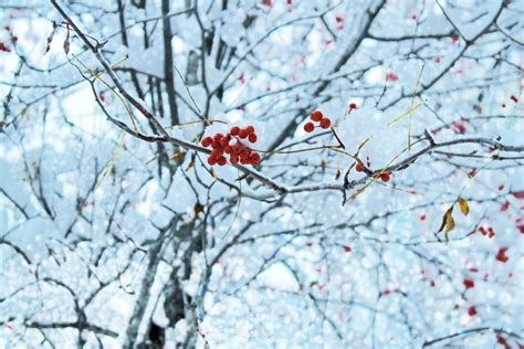 snow covered ash tree  red berries cluster edwards