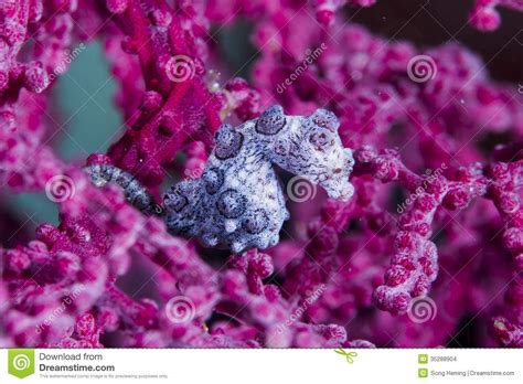 Destinations By Andrew Seahorse L by Bargibanti Pygmy Seahorse Stock Images Image 35288904