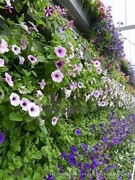 Lavender Flower Farm
