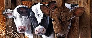 Three's a Crowd Stretched Canvas Wall Art Poster Print Cow