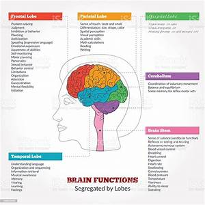 Human Brain Anatomy And Functions Stock Illustration