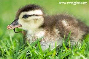 Baby Wood Duck Pictures, Photos of Fullerton Arboretum