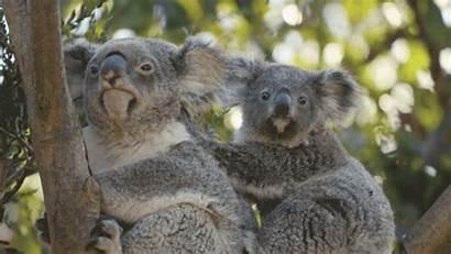Zoo Koala Animals Giphy Diego San Animal