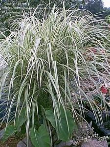 Miscanthus Sinensis Variegatus : plantfiles pictures eulalia maiden grass zebra grass chinese silvergrass 39 variegatus ~ Eleganceandgraceweddings.com Haus und Dekorationen