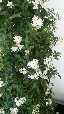 pianta di gelsomino in vaso 5 pz pianta di solanum jasminoides pianta ricante