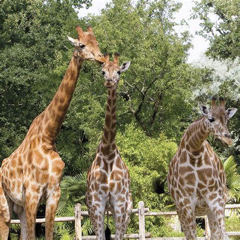 Lodge Zoo La Fleche 848 by Girafe Zoo De La Fl 232 Che