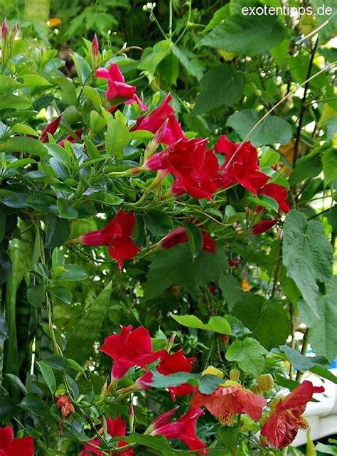 rio deep red mandevillasundavilledipladenia planted
