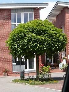 Catalpa Bignonioides Nana Pflege : catalpa bignonioides 39 nana 39 kugel trompetenbaum g nstig ~ Lizthompson.info Haus und Dekorationen