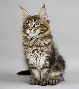 Maine, Coon