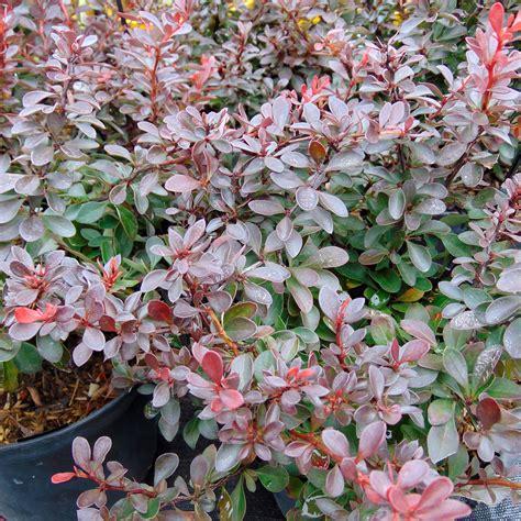 Berberis Thunbergii Atropurpurea by Berberis Thunbergii Atropurpurea Nana Epine Vinette