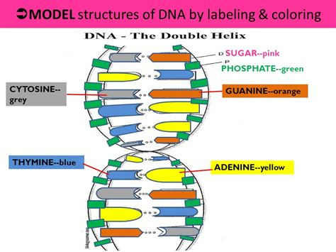 labeled dna models phosphate ma