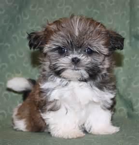 Shih Tzu Yorkie Mix Puppies