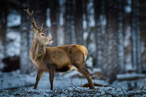 Reindeer Wallpaper Hd by Reindeer Forest Snow Wildlife Hd Wallpaper
