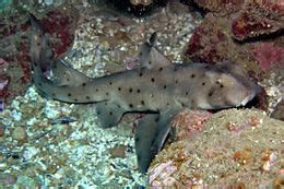 requin dormeur horn shark