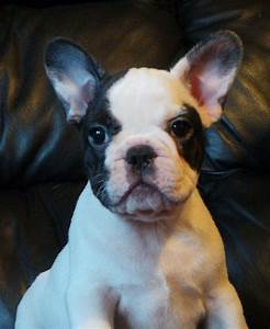 Black and white pied french bulldog male | Doncaster ...