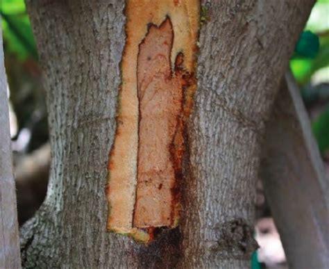 avocado trunk canker disease symptoms california avocado