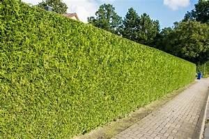 Thuja Hecke Düngen : kegel lebensbaum thuja occidentalis brabant g nstig ~ Lizthompson.info Haus und Dekorationen