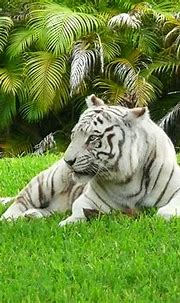 Best 35 Bengal Tiger Pictures and Wallpapers