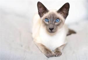 lamborghini diablo svr siamese cat wallpapers pics pictures images photos desktop backgrounds