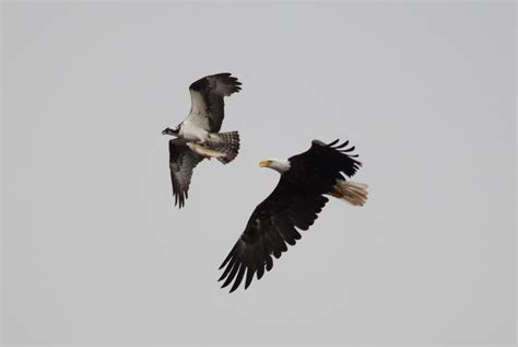 file birds of prey wisconsin 08 jpg