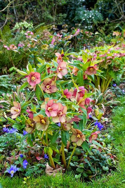 great garden plants hellebore a great plant for shade that deer don t eat