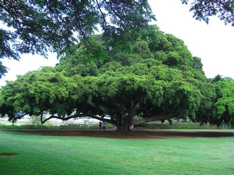 tree hawaii  stock photo public domain pictures