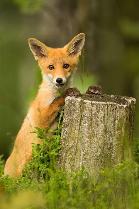 ideas  cute fox  pinterest