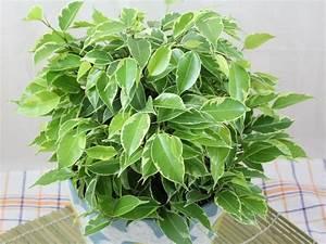 Ficus Benjamini Vermehren : ficus benjamina kinky ~ Lizthompson.info Haus und Dekorationen