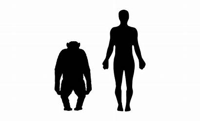 Human Comparison Chimpanzee Svg Troglodytes Pan Commons
