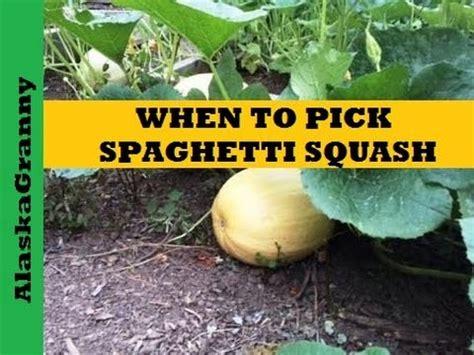 When Spaghetti Squash Ready Pick Harvest Youtube