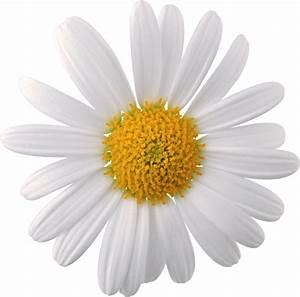 Camomile transparent image | Camomile | Pinterest | Flower ...