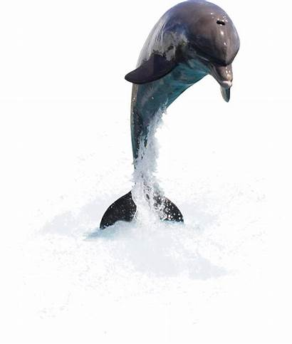 Dolphin Dolphins Dauphin Cartoon Dauphins Animals Tubes