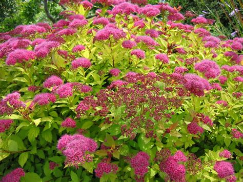 spirea shrub pictures super natural landscapes showy shrubs for every season