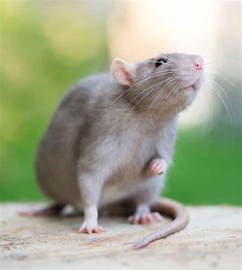 Rat Lifespan - How Long Do Pet Rats Live & How To Help ...