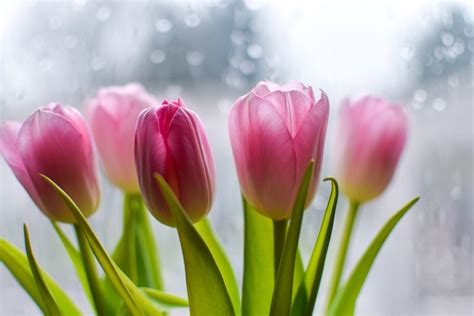 Tulip Flower Image by Best Flowers For S Day Cubkit