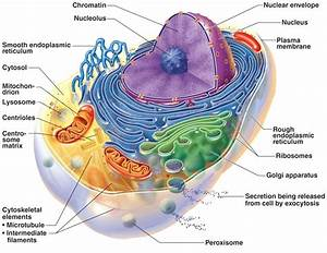 Diagram  Endomembrane System Diagram