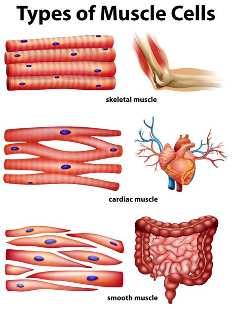 Muscle diagrams of major muscles exercised in weight training. Human Body Muscles: Functions, Classification and Significance