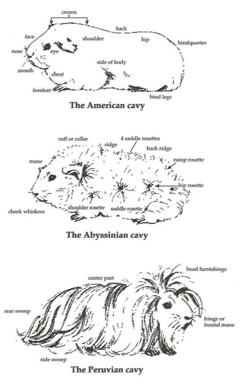 Guinea Pig Diagram Label by Cavy Stuff Tennie Cavy Guinea Pigs County Fair Projects