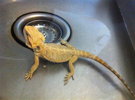 Lizard Toast Meme - 54 best bearded dragons images on pinterest bearded dragon lizards and reptiles