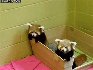 Red Pandas - Album on Imgur