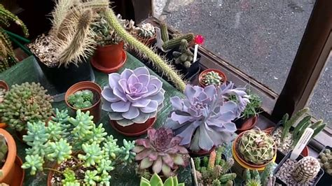 care  grow echeveria succulent plants youtube
