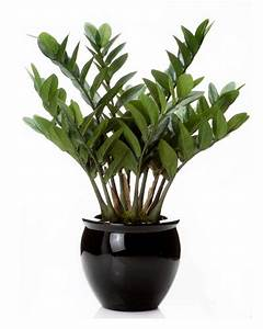 Exotic 23 U0026quot  Zz Silk Plant For The Distinctive Home And
