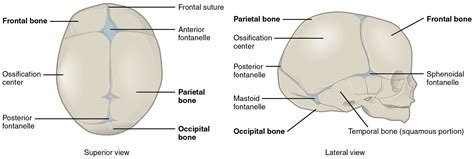 Newborn Diameter Diagram by Embryonic Development Of The Axial Skeleton 183 Anatomy And